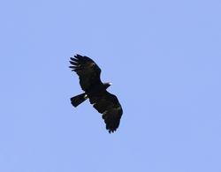Black Eagle, Ictinaetus malayensis