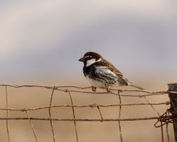 male Spanish Sparrow, Passer hispaniolensis