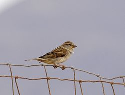 female Spanish Sparrow, Passer hispaniolensis