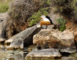Ruddy Shelduck, Tadorna ferruginea
