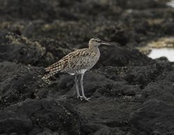 Whimbrel, Numenius phaepos