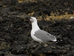 Yellow-legged Gull, Larus michahellis