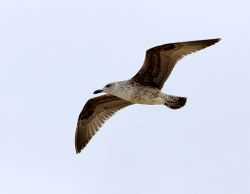 immature Yellow-legged Gull