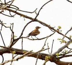 Chestnut-backed Sparrow-Lark, Eremopterix leucotis