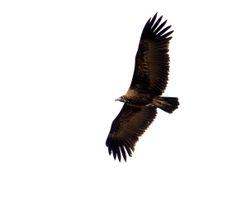 Hooded Vulture, Necrosyrtes monachus