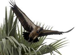 White-backed Vulture, Gyps africanus