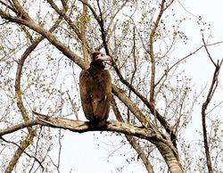 White-headed Vulture, Trigonoceps occipitalis