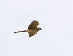 Shikra, Accipiter badius