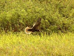Western Marsh-Harrier, Circus aeruginosus