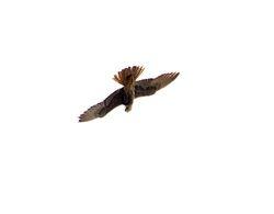 Red-necked Buzzard, Buteo auguralis