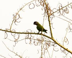 Senegal Parrot, Poicephalus senegalus