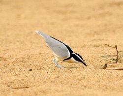 Egyptian Plover, Pluvianus aegyptius