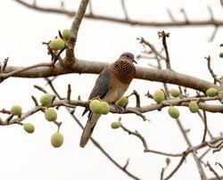 Laughing Dove, Streptopelia senegalensis
