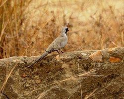 Namaqua Dove, Oena capensis