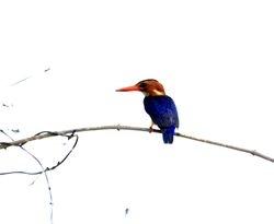 African Pygmy-Kingfisher, Ispidina picta