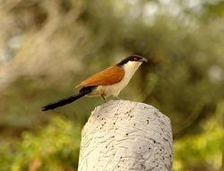 Senegal Coucal, Centropus senegalensis
