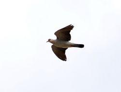 Speckled Pigeon, Columba guinea