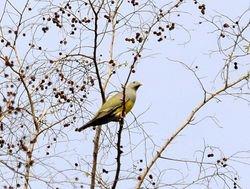 Bruce's Green-Pigeon, Treron waalia