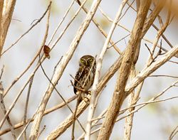 Pearl-spotted Owlet, Glaucidium perlatum