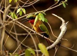 Red-throated Bee-eater, Merops bulocki