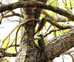 Grey Woodpecker, Dendropicos goertae