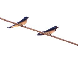 Red-chested Swallow, Hirundo lucida