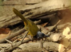 Oriole Warbler, Hypergerus atriceps