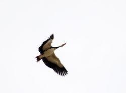 Spur-winged Goose, Plectropterus gambensis