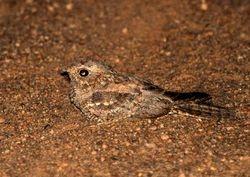 Plain Nightjar, Caprimulgus inornatus
