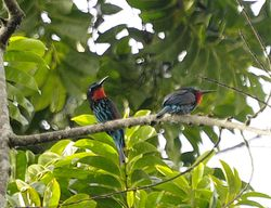 Black Bee-eater, Merops gularis