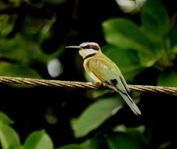 White-throated Bee-eater, Merops albicollis