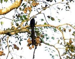 White-crested Hornbill, Tockus albocristatus