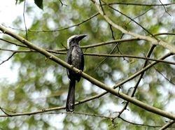 Black Dwarf Hornbill, Tockus hartlaubi