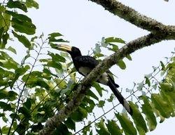 African Pied Hornbill, Tockus fasciatus
