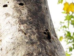 Bristle-nosed Barbet, Gymnobucco peli