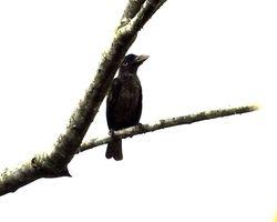 Naked-faced Barbet, Gymnobucco calvus
