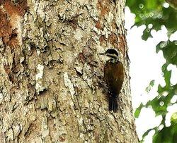 Fire-bellied Woodpecker, Dendropicos pyrrhogaster