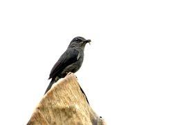 Dusky-blue Flycatcher, Muscicapa comitata