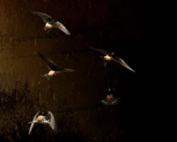 Preuss' Swallows, Hirundo preussi
