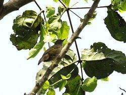 Grey Longbill, Macrosphenus concolor