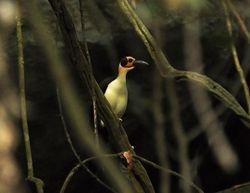 White-necked Rockfowl, Picathartes gymnocephalus