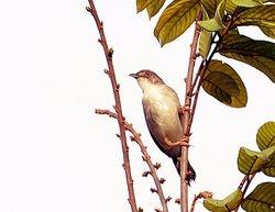 Whistling Cisticola, Cisticola lateralis