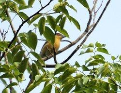 Blackcap Babbler, Turdoides reinwardtii