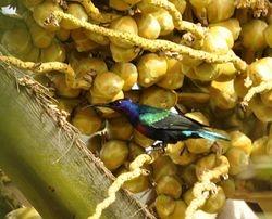 Splendid Sunbird, Cinnyris coccinigaster