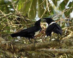 Pied Crow, Corvus albus