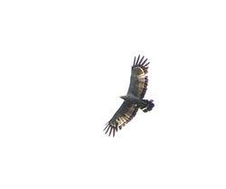African Harrier-Hawk, Polyboroides typus