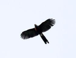 Long-tailed Hawk, Urotriorchis macrourus