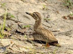 Senegal Thick-knee, Burhinus senegalensis