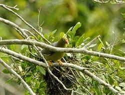African Green-Pigeon, Treron calva