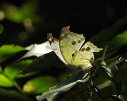 FOREST MOTHER-OF-PEARL